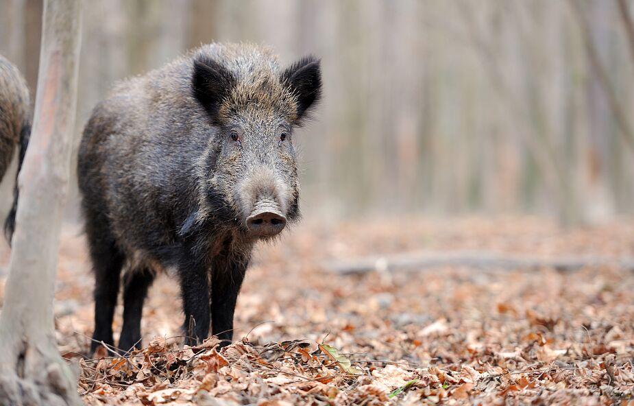 Poznań: dziki wtargnęły na teren przedszkola; na miejsce udał się łowczy