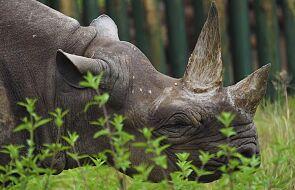W Tanzani zmarł najstarszy na świecie nosorożec czarny
