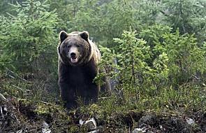 Atak niedźwiedzia w Bieszczadach. Leśnicy apelują o ostrożność i o nie pozostawianie śmieci