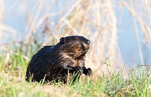 Rzecznik rządu: nie przewidujemy żadnych zmian w zakresie odstrzału bobrów