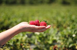 Chcesz kupić świeże warzywa i owoce taniej? Umów się z rolnikiem i zbierz je samemu dzięki nowemu portalowi