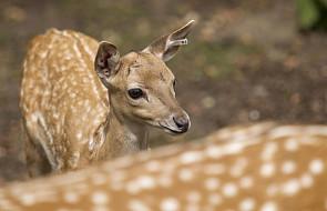We wrocławskim zoo urodził się daniel mezopotamski