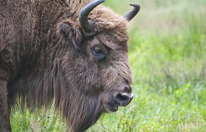 Podlaskie: padł żubr z nowego stada w Puszczy Augustowskiej
