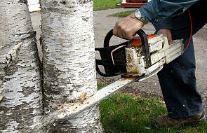 Parafianie i proboszcz chcą wycinać drzewa, bo przeszkadzają im w procesji Bożego Ciała
