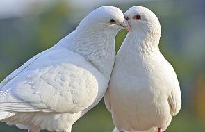 Dlatego właśnie Duch Święty przyjmuje postać gołębicy