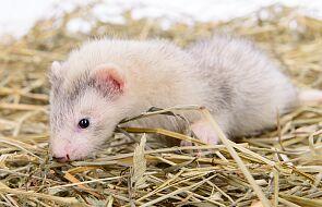 Koronawirusem zakażają się również zwierzęta; jego niebezpieczną odmianę wykryto u norek