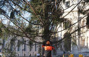 Watykan: na placu św. Piotra stanęła choinka