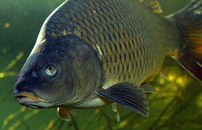 Ekolodzy z Klubu Gaja apelują: nie kupuj żywych karpi