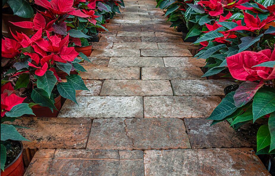 Bożonarodzeniowe rośliny i ich tajemnice