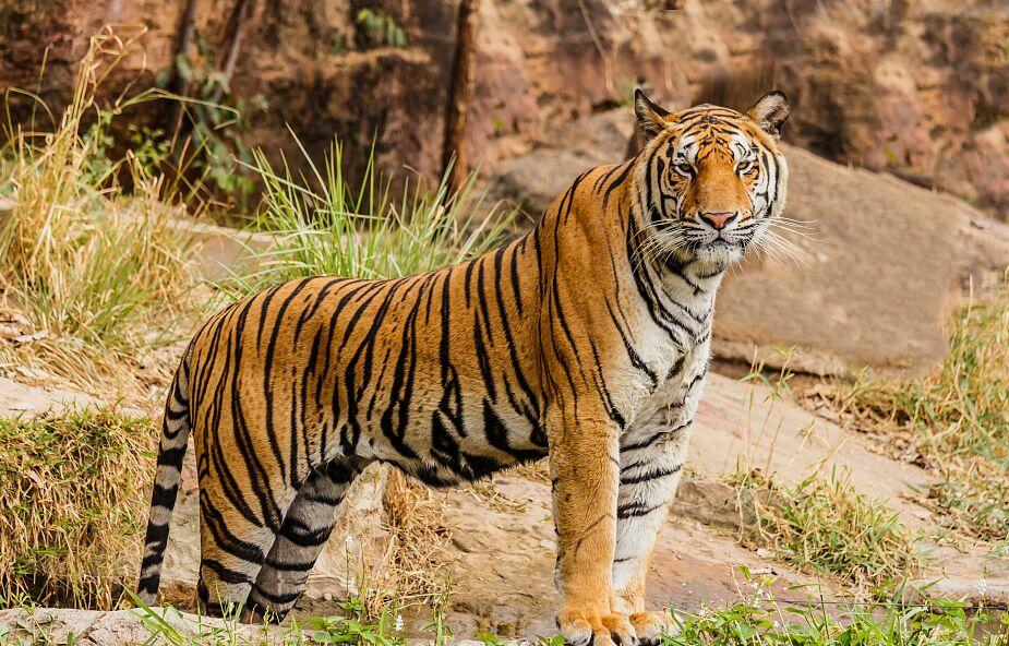 Tygrysica z nowojorskiego zoo zakażona koronawirusem