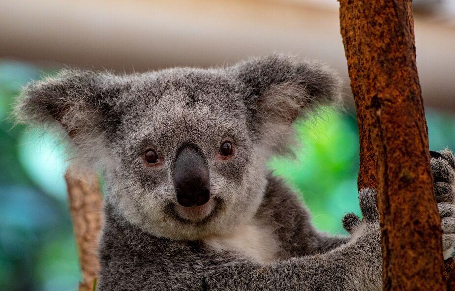 Możliwe, że do 2050 koala wyginie w tej części Australii. Z winy człowieka