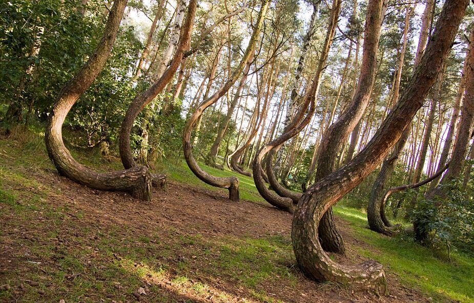 """Czy to już koniec """"krzywego lasu""""? Nadleśnictwo publikuje niepokojący komunikat"""