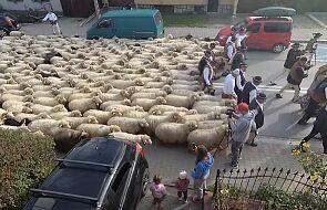 Tysiące owiec schodzą z górskich hal. Zobacz jesienny redyk na filmie i zdjęciach