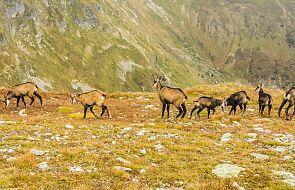 Rozpoczęło się jesienne liczenie kozic w Tatrach