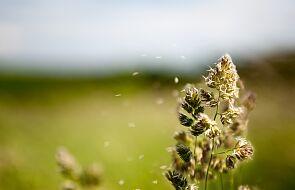 Naukowcy: im więcej pyłków w powietrzu, tym więcej infekcji koronawirusem