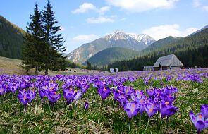 Tatrzański Park Narodowy odradza przyjazd na krokusy