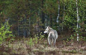 """Którego """"wilka"""" w sobie karmisz? - nowenna do Ducha Świętego [DZIEŃ SIÓDMY]"""