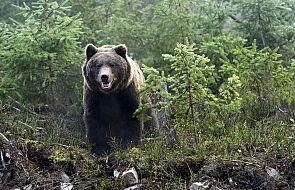 Po ulicach Zakopanego chodził niedźwiedź. Interweniowała policja
