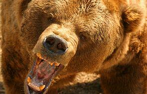 Niedźwiedź zaatakował turystę w Yellowstone. Mężczyzna doznał ciężkich obrażeń