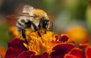 Wyszkolono pszczoły, które potrafią wykryć COVID-19