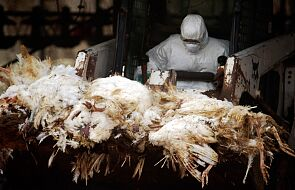 W Chinach doszło do pierwszego przypadku zakażenia człowieka ptasią grypą H10N3