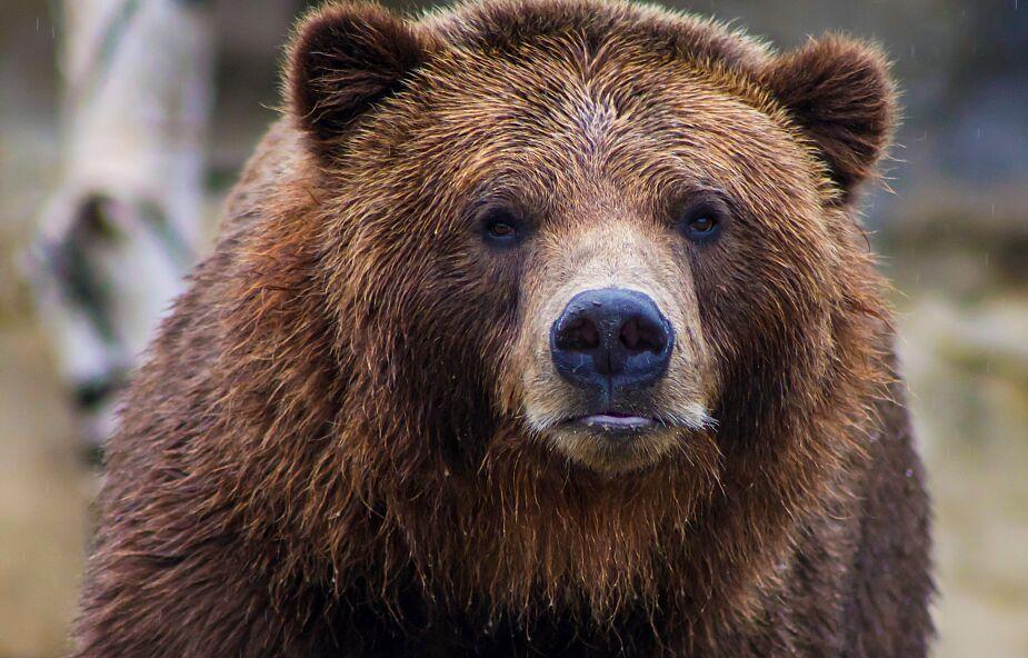 57-latek zabity przez niedźwiedzia. To pierwszy taki przypadek od co najmniej 100 lat
