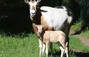 W gdańskim ZOO urodziła się antylopka. Jest prześliczna i wyjątkowa
