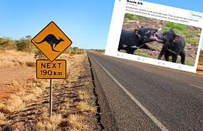 W Australii na świat przyszły diabły tasmańskie