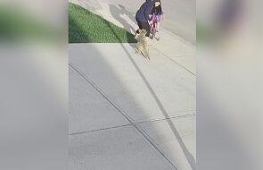 Kojot zaatakował kobietę. Agresywne zachowanie zwierzęcia zarejestrowała kamera