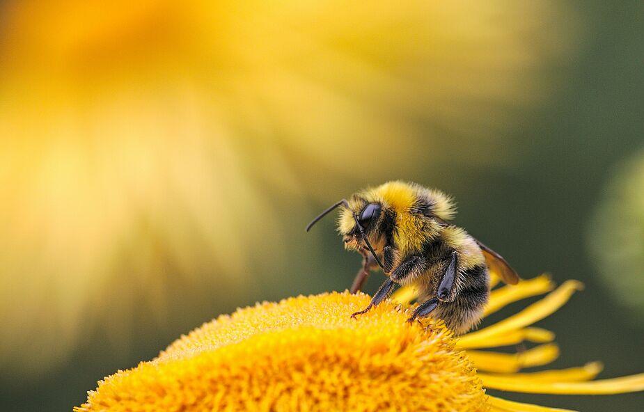 Pszczoły są zagrożone na całym świecie. Europa nie jest wyjątkiem