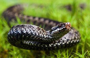 Nie pomyl tego węża ze żmiją. Nie jest jadowity