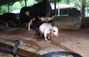 Najmniejsza krowa świata? Ludzie łamią obostrzenia, żeby ją zobaczyć
