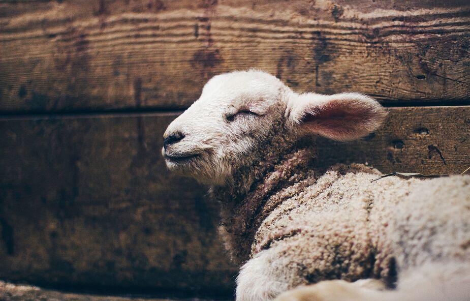 Wilk jest zły, bo jest zdany na siebie. Owca nie musi być zła i agresywna, bo ma pasterza
