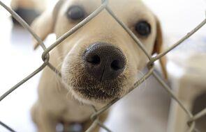 Australia. Zabili psy w schronisku. Powodem obawy o zakażenie koronawirusem