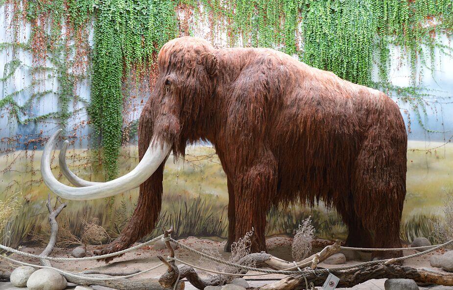 Naukowcy chcą odtworzyć mamuty. Pierwszy może urodzić się za sześć lat