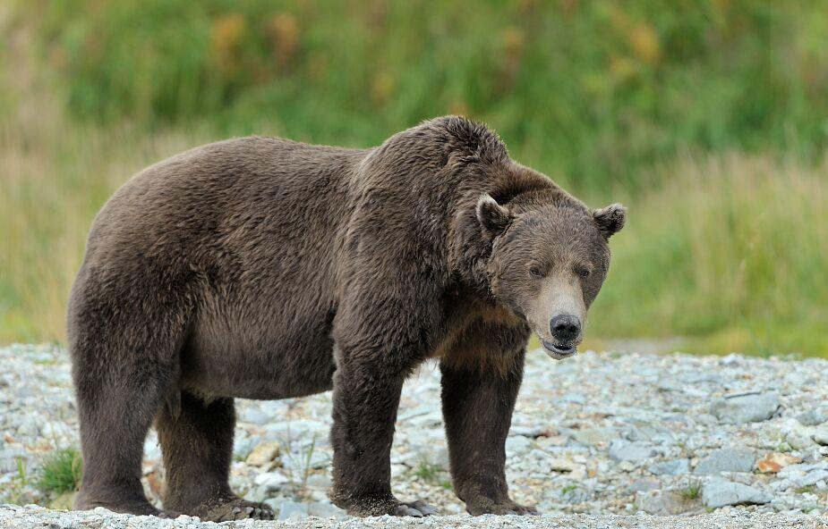Grizli zaatakował kozła. Zaskakujący wynik walki