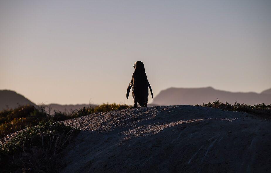 Uczniowie przypadkiem odkryli prehistorycznego pingwina. Okazało się, że to nowy gatunek